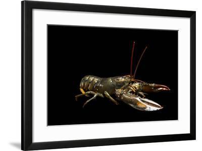 A Studio Portrait of an American Lobster, Homarus Americanus.-Joel Sartore-Framed Photographic Print