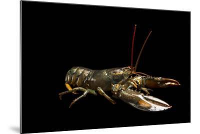 A Studio Portrait of an American Lobster, Homarus Americanus.-Joel Sartore-Mounted Photographic Print