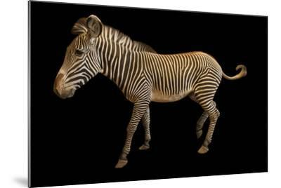 An Endangered Grevy's Zebra, Equus Grevyi.-Joel Sartore-Mounted Photographic Print