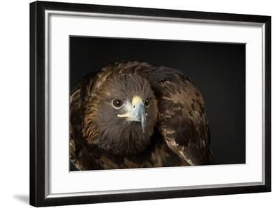 A Golden Eagle, Aquila Chrysaetos.-Joel Sartore-Framed Photographic Print
