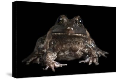 An American Bullfrog, Rana Catesbeiana.-Joel Sartore-Stretched Canvas Print