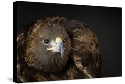 A Golden Eagle, Aquila Chrysaetos.-Joel Sartore-Stretched Canvas Print