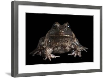 An American Bullfrog, Rana Catesbeiana.-Joel Sartore-Framed Photographic Print