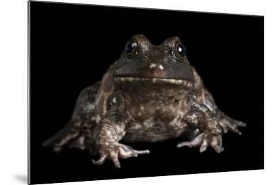 An American Bullfrog, Rana Catesbeiana.-Joel Sartore-Mounted Photographic Print