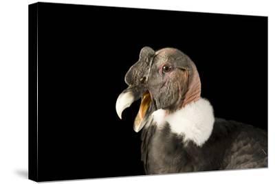 Andean Condor, Vultur Gryphus.-Joel Sartore-Stretched Canvas Print