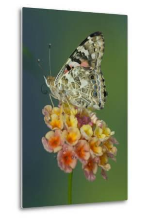 American Painted Lady Butterfly-Darrell Gulin-Metal Print