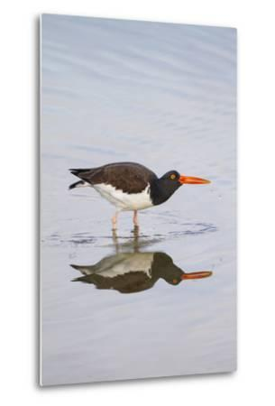 American Oystercatcher Drinking-Larry Ditto-Metal Print