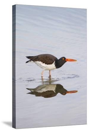 American Oystercatcher Drinking-Larry Ditto-Stretched Canvas Print