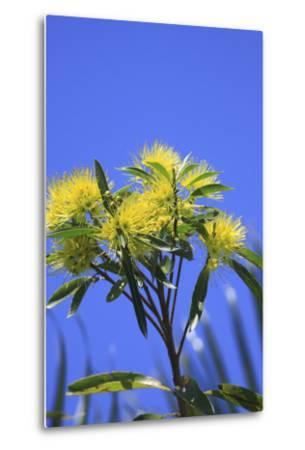 A Bright Yellow Wattle Tree in Suburban Cairns, Queensland, Australia-Paul Dymond-Metal Print