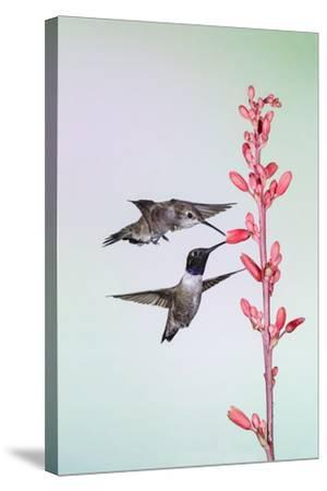 Black-Chinned Hummingbird Adult Male Feeding-Larry Ditto-Stretched Canvas Print