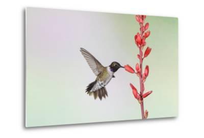 Black-Chinned Hummingbird Adult Male Feeding-Larry Ditto-Metal Print