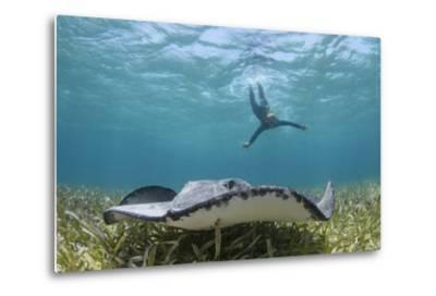 Caribbean Whiptail Ray and Snorkeler, Shark Ray Alley, Hol Chan Marine Reserve, Belize-Pete Oxford-Metal Print