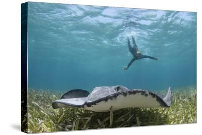Caribbean Whiptail Ray and Snorkeler, Shark Ray Alley, Hol Chan Marine Reserve, Belize-Pete Oxford-Stretched Canvas Print