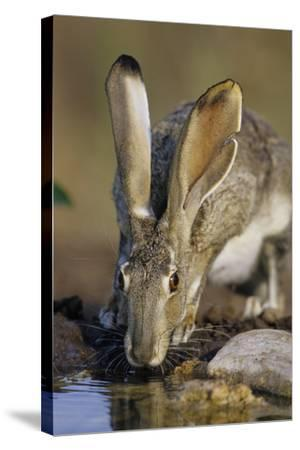 Black-Tailed Jack Rabbit Drinking at Water Starr County, Texas-Richard and Susan Day-Stretched Canvas Print