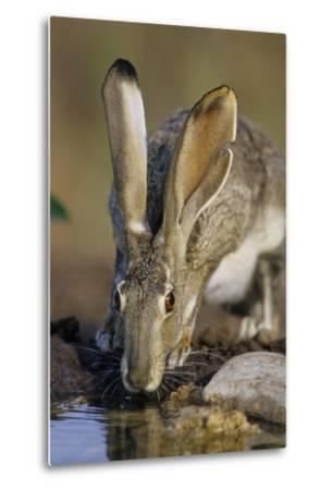 Black-Tailed Jack Rabbit Drinking at Water Starr County, Texas-Richard and Susan Day-Metal Print
