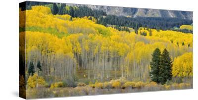 Colorado, Gunnison National Forest-John Barger-Stretched Canvas Print