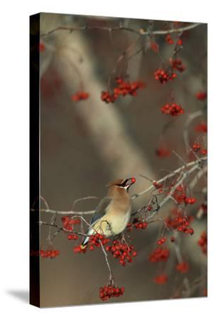Cedar Waxwing Eating Hawthorn Berry Sangomon Co. Illinois-Richard and Susan Day-Stretched Canvas Print