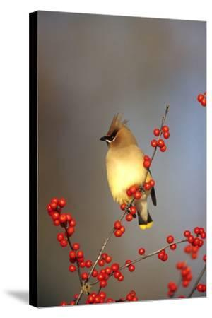 Cedar Waxwing in Common Winterberry, Marion, Il-Richard and Susan Day-Stretched Canvas Print