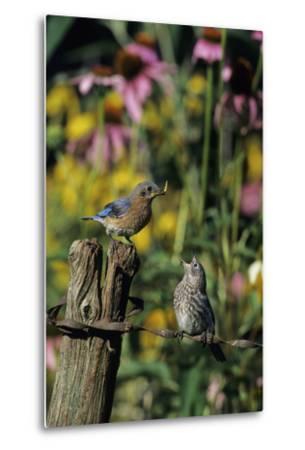 Eastern Bluebird Female Feeding Fledgling on Fence Near Flower Garden, Marion, Il-Richard and Susan Day-Metal Print