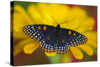 Colorful Baltimore Checkered Spot Butterfly-Darrell Gulin-Stretched Canvas Print