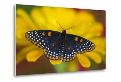 Colorful Baltimore Checkered Spot Butterfly-Darrell Gulin-Metal Print