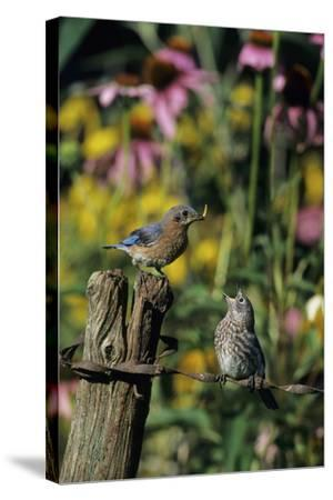 Eastern Bluebird Female Feeding Fledgling on Fence Near Flower Garden, Marion, Il-Richard and Susan Day-Stretched Canvas Print