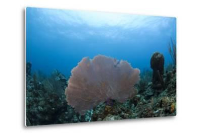 Common Sea Fan, Ambergris Caye, Belize-Pete Oxford-Metal Print