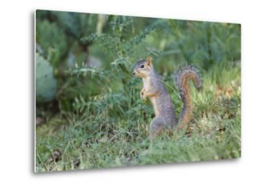 Eastern Fox Squirrel Foraging on Forest Floor-Larry Ditto-Metal Print
