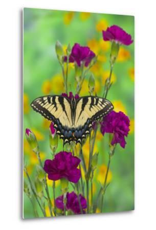 Eastern Tiger Swallowtail-Darrell Gulin-Metal Print