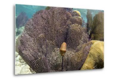 Flamingo Tongue on Common Sea Fan, Lighthouse Reef, Atoll, Belize-Pete Oxford-Metal Print