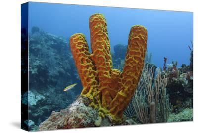 Convoluted Barrel Sponge, Hol Chan Marine Reserve, Belize-Pete Oxford-Stretched Canvas Print