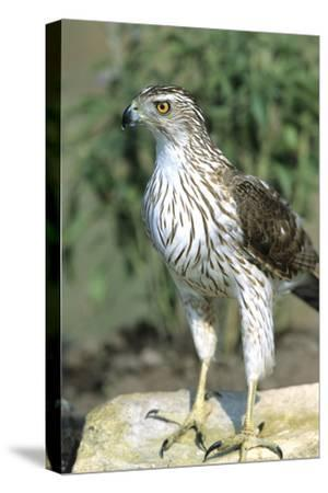 Cooper's Hawk Immature, Starr County, Texas-Richard and Susan Day-Stretched Canvas Print