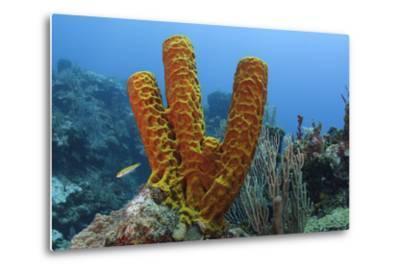 Convoluted Barrel Sponge, Hol Chan Marine Reserve, Belize-Pete Oxford-Metal Print