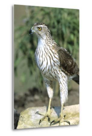 Cooper's Hawk Immature, Starr County, Texas-Richard and Susan Day-Metal Print