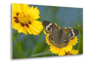 Buckeye Butterfly-Darrell Gulin-Metal Print
