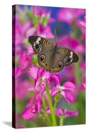 Buckeye Butterfly with Eyespots-Darrell Gulin-Stretched Canvas Print