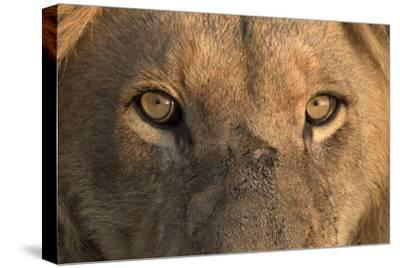 Africa, Namibia. Male Lion, Namibia-Jaynes Gallery-Stretched Canvas Print
