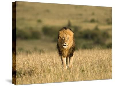 Africa, Kenya, Masai Mara Game Reserve. Male Lion Walking in Dry Grass-Jaynes Gallery-Stretched Canvas Print