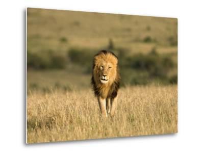 Africa, Kenya, Masai Mara Game Reserve. Male Lion Walking in Dry Grass-Jaynes Gallery-Metal Print