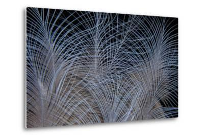 Crown Feathers of the Crowned Pigeon-Darrell Gulin-Metal Print