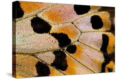 Close-Up Detail Wing Pattern of Tropical Butterfly-Darrell Gulin-Stretched Canvas Print