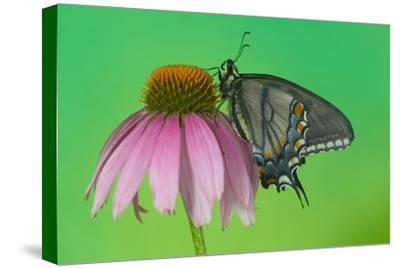 Black Form of Eastern Tiger Swallowtail Butterfly-Darrell Gulin-Stretched Canvas Print