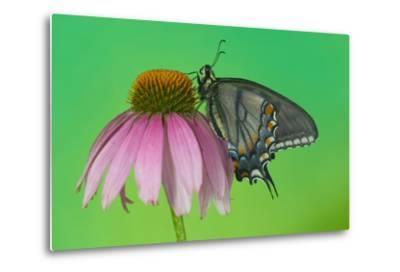Black Form of Eastern Tiger Swallowtail Butterfly-Darrell Gulin-Metal Print