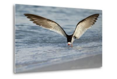Black Skimmer Coming in for a Landing, Gulf of Mexico, Florida-Maresa Pryor-Metal Print
