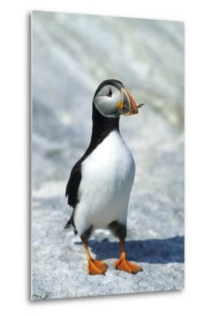 Atlantic Puffin with Nesting Material, Machias Seal Island, Canada-Richard and Susan Day-Metal Print