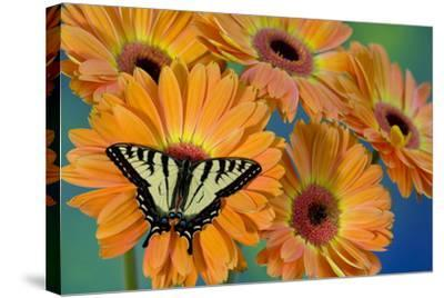 Canadian Tiger Swallowtail Butterfly-Darrell Gulin-Stretched Canvas Print