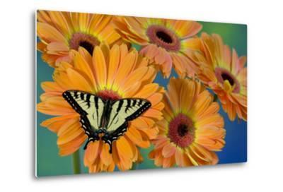 Canadian Tiger Swallowtail Butterfly-Darrell Gulin-Metal Print