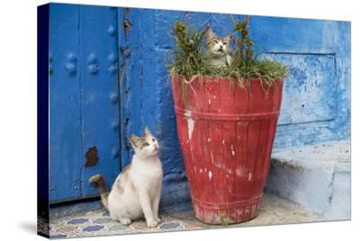 Morocco, Rabat, Sale, Kasbah Des Oudaias, Cats Hanging Out by a Potted Plant-Emily Wilson-Stretched Canvas Print