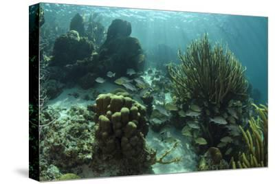 Mahogany Snapper and Grunts, Hol Chan Marine Reserve, Belize-Pete Oxford-Stretched Canvas Print