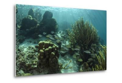 Mahogany Snapper and Grunts, Hol Chan Marine Reserve, Belize-Pete Oxford-Metal Print